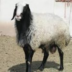 گوشت گوسفندی شال