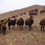 گوشت گوسفند افشاری
